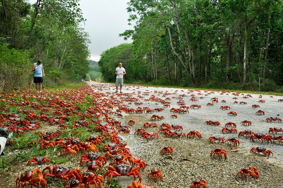 Red Crrab migration Christmas Island