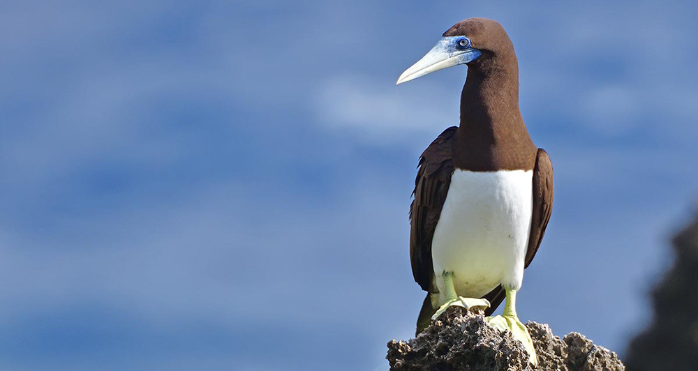 Bird watching Australia - Cocos keeling islands